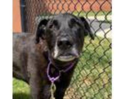 Adopt Trooper a Black Labrador Retriever / Mixed dog in Dallas, TX (32106959)