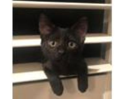 Adopt Rosie a All Black Domestic Shorthair / Mixed cat in Temecula