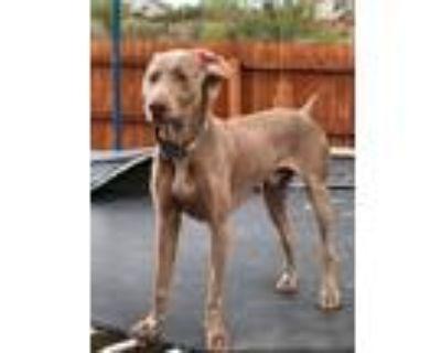 Adopt Storm a Gray/Blue/Silver/Salt & Pepper Weimaraner / Mixed dog in Fountain