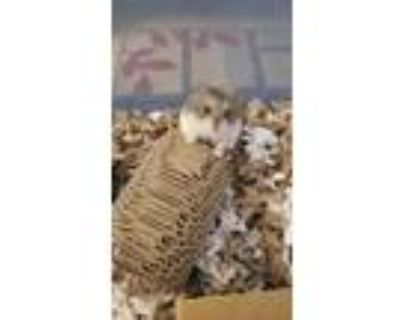 Adopt Vassiliki a Tan or Beige Hamster small animal in Tucson, AZ (31029626)