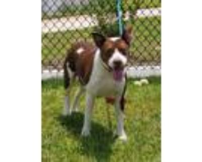 Adopt Cheeto a Pit Bull Terrier