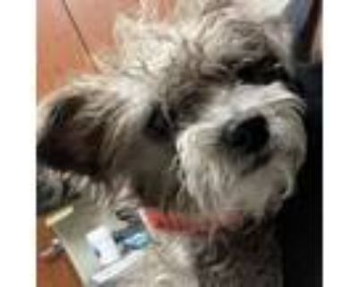 Adopt Lakresha a Gray/Silver/Salt & Pepper - with Black Terrier (Unknown Type