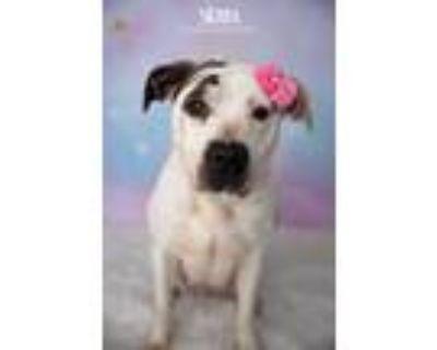 Adopt Sierra a Tricolor (Tan/Brown & Black & White) Labrador Retriever / Pointer