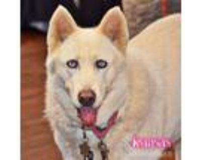 Adopt Kansas a White Siberian Husky / Mixed dog in Carrollton, TX (32003602)