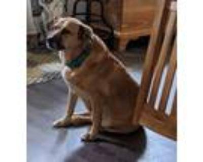 Adopt Binx a Boxer, Mixed Breed