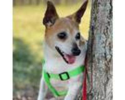 Butterbean, Rat Terrier For Adoption In Bartlett, Illinois
