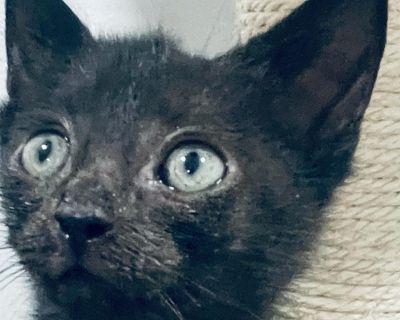 Swarovski - Domestic Shorthair - Kitten Male