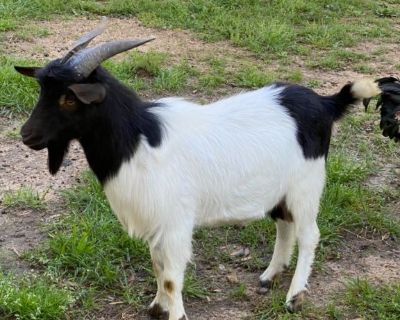 Goat for Sale/trade