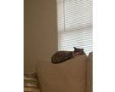 Adopt Piper a Calico or Dilute Calico Domestic Shorthair / Mixed (short coat)