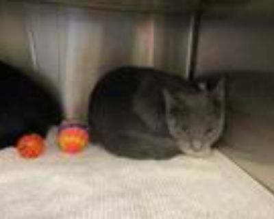 Adopt Domino a Gray or Blue Domestic Shorthair / Domestic Shorthair / Mixed cat