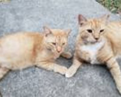 Adopt Ginger and Margaret a Domestic Shorthair / Mixed (short coat) cat in