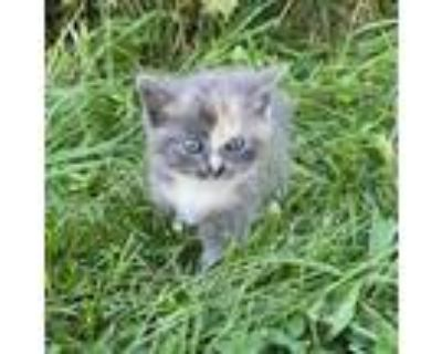 Adopt Mini Moe a Calico or Dilute Calico Domestic Mediumhair / Mixed cat in
