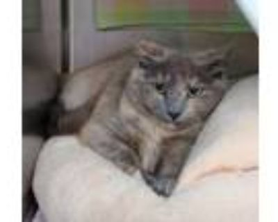 Adopt Belle a Gray or Blue Domestic Shorthair / Domestic Shorthair / Mixed cat