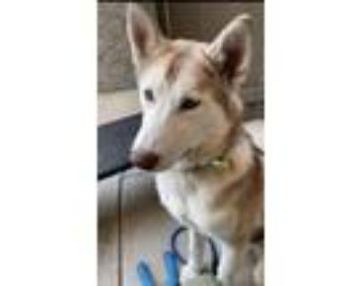 Adopt Baloo a White - with Tan, Yellow or Fawn Siberian Husky / Alaskan Malamute