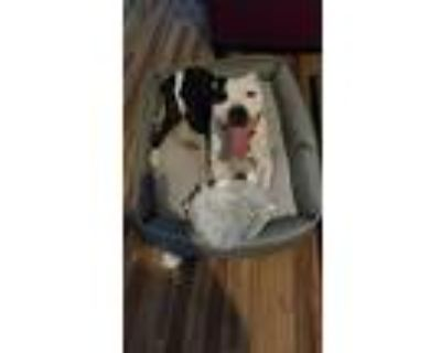 Caffeine, American Pit Bull Terrier For Adoption In Sylmar, California