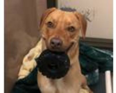 Adopt Leo a Labrador Retriever