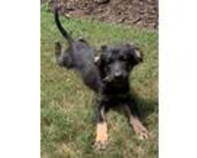 Adopt Arlo a Black - with Tan, Yellow or Fawn Shepherd (Unknown Type) dog in