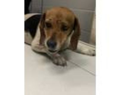 Adopt Wilma* a White Beagle / Mixed dog in Anderson, SC (32081970)