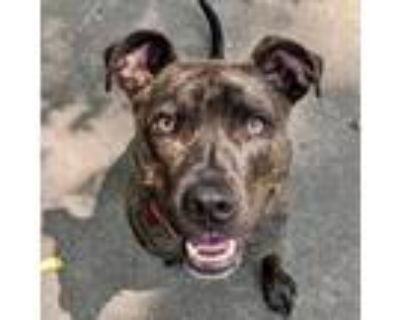 Adopt Champ a Black American Pit Bull Terrier / Mixed dog in Indianapolis