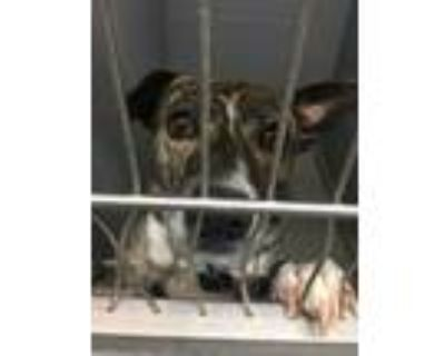 Adopt LILY a Brindle American Pit Bull Terrier / Mixed dog in Los Lunas