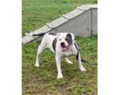 Adopt SELENA a White - with Gray or Silver American Pit Bull Terrier / American
