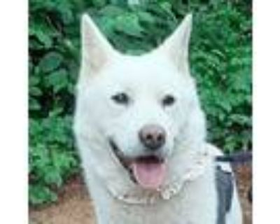 Adopt Pepper Potts a White - with Tan, Yellow or Fawn Jindo / Spitz (Unknown