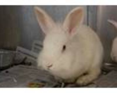 Adopt Clover a White Other/Unknown / Other/Unknown / Mixed rabbit in Chamblee