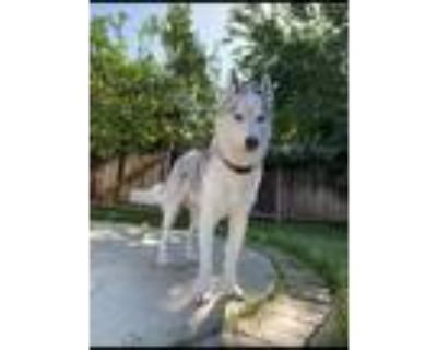 Adopt Ghost a White - with Gray or Silver Husky / Mixed dog in North Hollywood