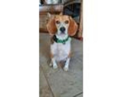 Adopt Annie - Fostered in Omaha a Beagle