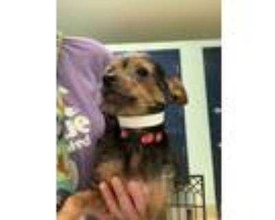 Adopt Cavan CC 6-8-21 a Black Fox Terrier (Toy) / Mixed dog in San Angelo