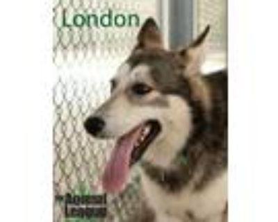 Adopt London a Husky