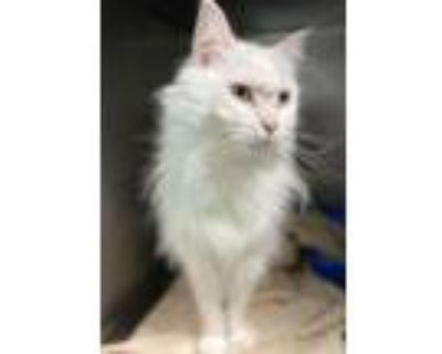 Kitty, Domestic Mediumhair For Adoption In Noblesville, Indiana
