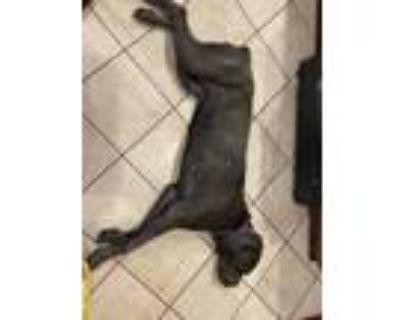 Adopt Zena a Gray/Blue/Silver/Salt & Pepper Cane Corso / Mixed dog in Baltimore