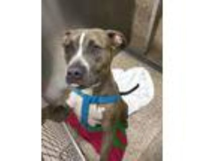 Adopt Missy a Pit Bull Terrier
