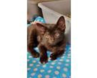 Adopt Ducky a All Black Domestic Shorthair / Domestic Shorthair / Mixed cat in