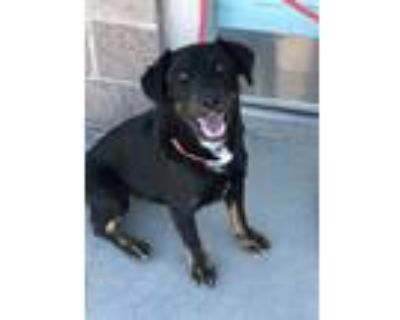 Adopt NELSON a Tricolor (Tan/Brown & Black & White) Border Collie / Mixed dog in