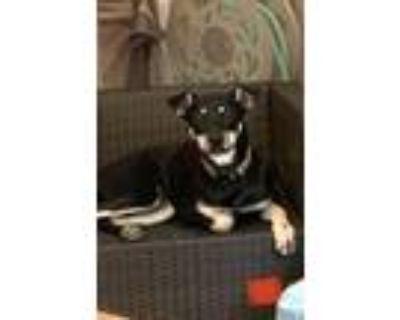 Adopt Yogi Bear a Black - with Tan, Yellow or Fawn Shepherd (Unknown Type) dog
