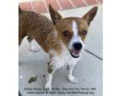 Adopt Brayden a Red/Golden/Orange/Chestnut - with White Toy Fox Terrier / Rat