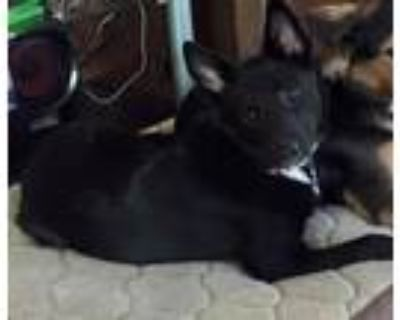 Adopt Kimber a Black - with White Border Collie / Husky dog in Gilbertsville