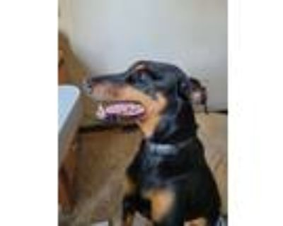 Adopt Kenzie a Black - with Tan, Yellow or Fawn Doberman Pinscher / Mixed dog in