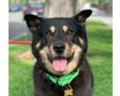 Adopt Sam a Cattle Dog, Shiba Inu