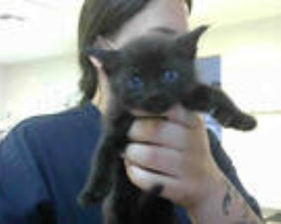 Adopt KITTY WELLS a All Black Domestic Shorthair / Mixed (short coat) cat in