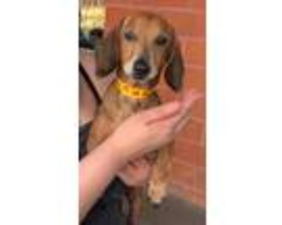Adopt Archie - Avail. Soon a Brindle Dachshund / Mixed dog in Los Angeles
