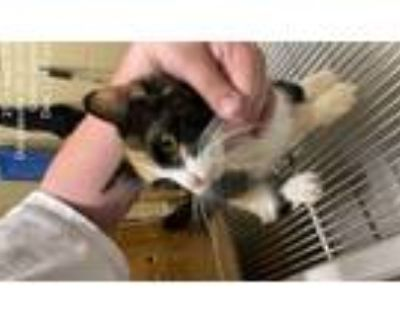 Adopt Pixie a Calico or Dilute Calico Domestic Shorthair (short coat) cat in