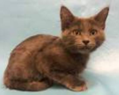Adopt Grif a Gray or Blue Domestic Longhair / Domestic Shorthair / Mixed cat in