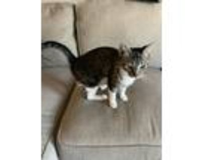 Adopt Kitty a Gray, Blue or Silver Tabby Domestic Shorthair / Mixed (short coat)