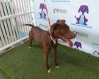 Adopt BOJI a Brown/Chocolate - with White American Pit Bull Terrier / Mixed dog