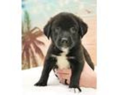 Tux, Labrador Retriever For Adoption In Hagerstown, Maryland