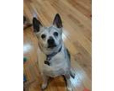 Adopt Tucker a Brindle - with White Boston Terrier / Shiba Inu / Mixed dog in