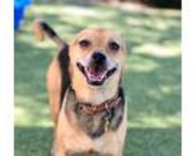 Adopt Isley a Beagle, Pug